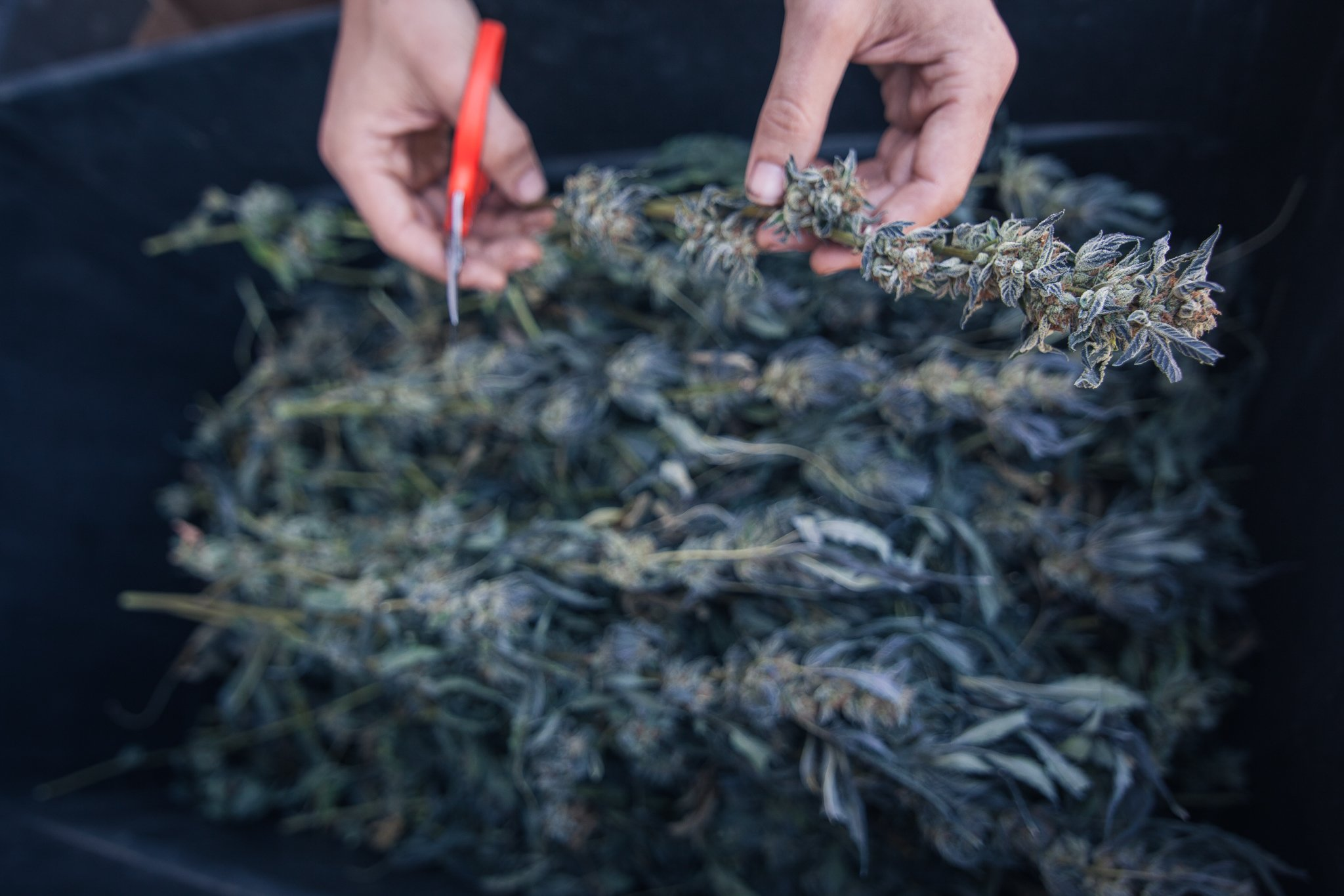 Trimmigrant Survival Guide: 10 Tips for a Successful Harvest Season in Humboldt