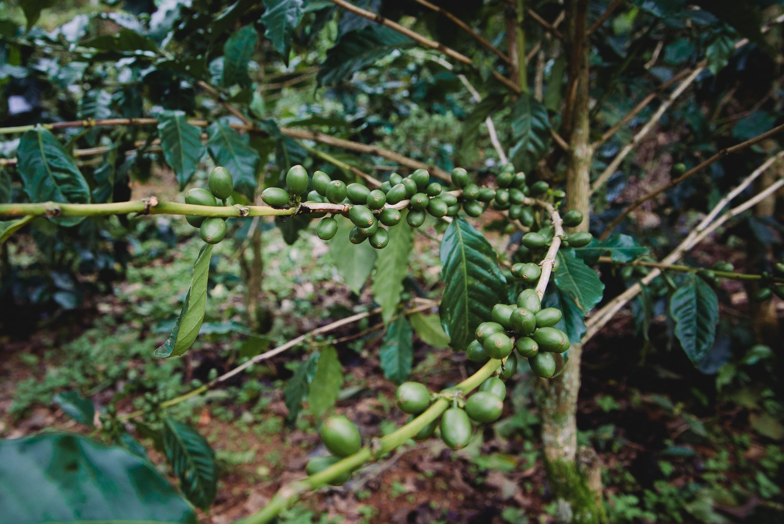 Green Coffee Cherries on the Dalat coffee farm