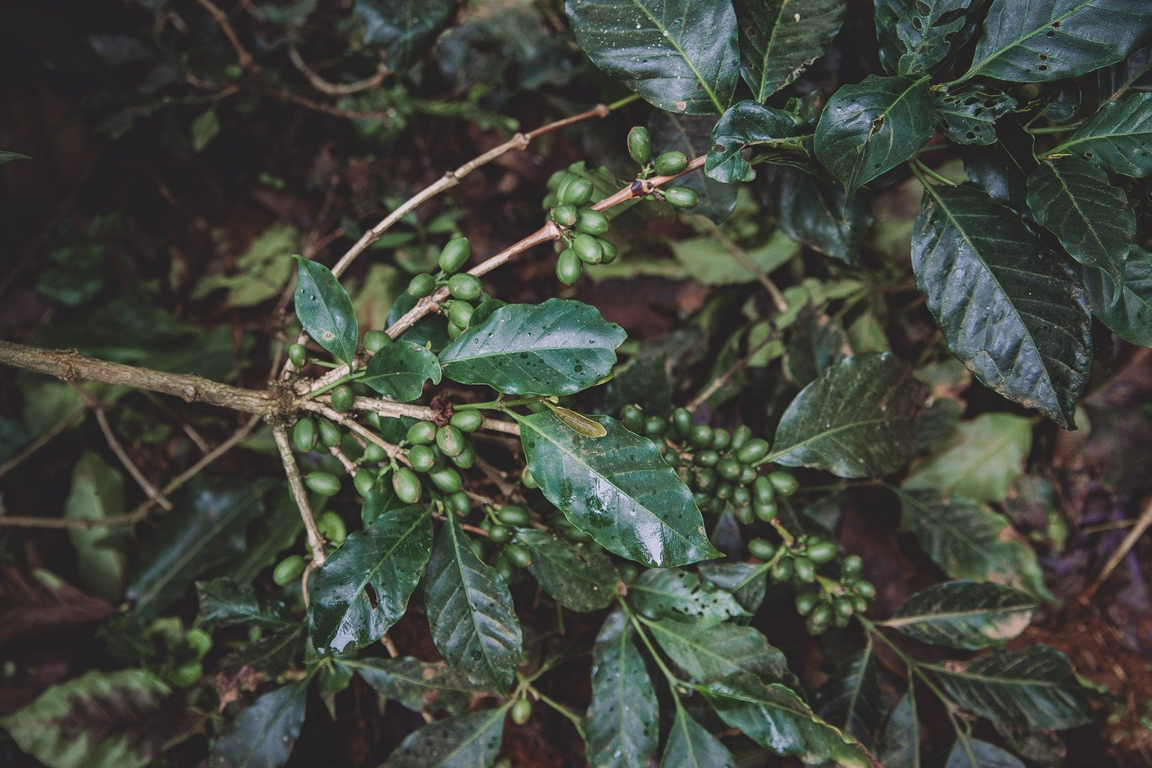 Arabica coffee tree with waxy leaves and green cherries