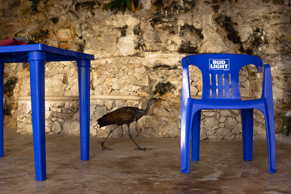 Stork walking by plastic table and chairs